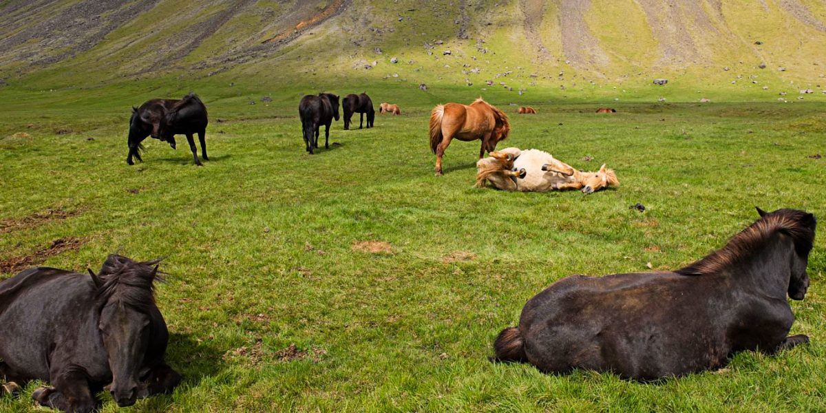 The meadows and the horses. Beauty in Iceland
