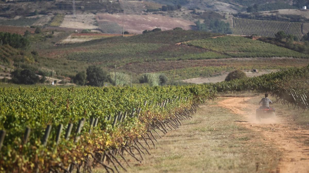 As vinhas da Quinta do Gradil