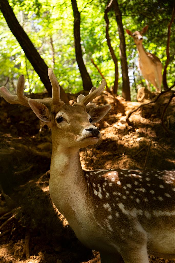 Bambi no Parque Biológico de Vinhais